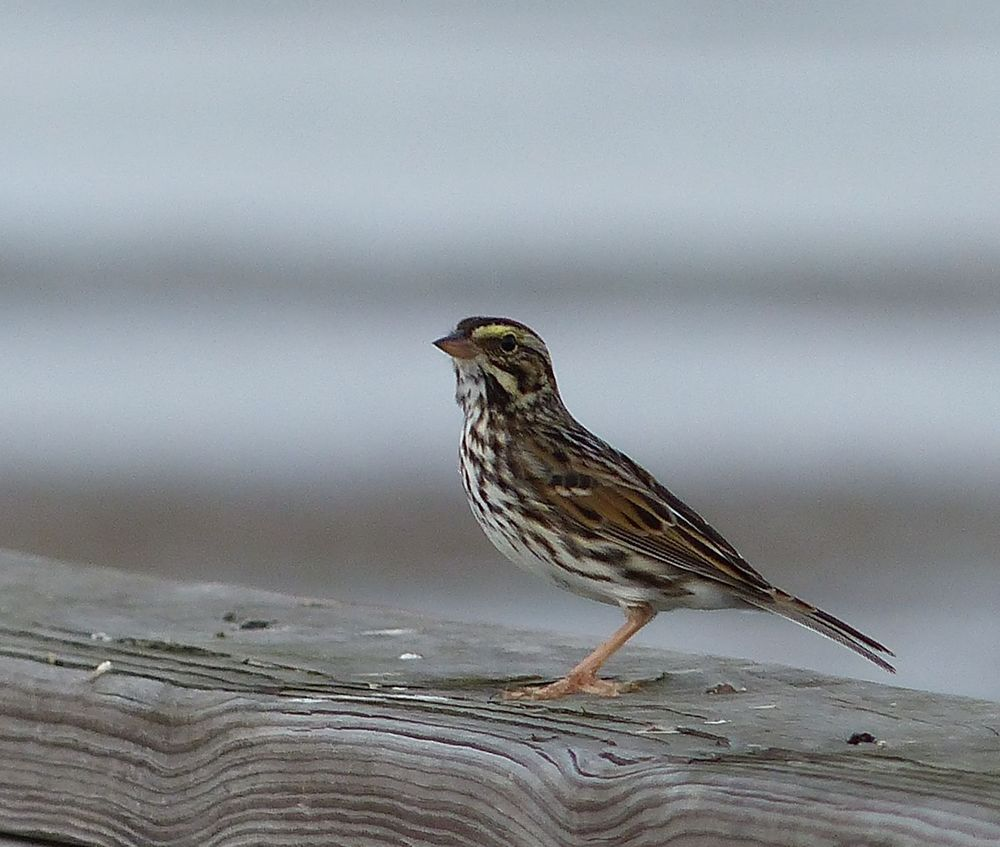 Savannah Sparrow - Katy Prairie