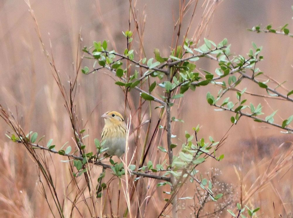 Le Conte's Sparrow... maybe