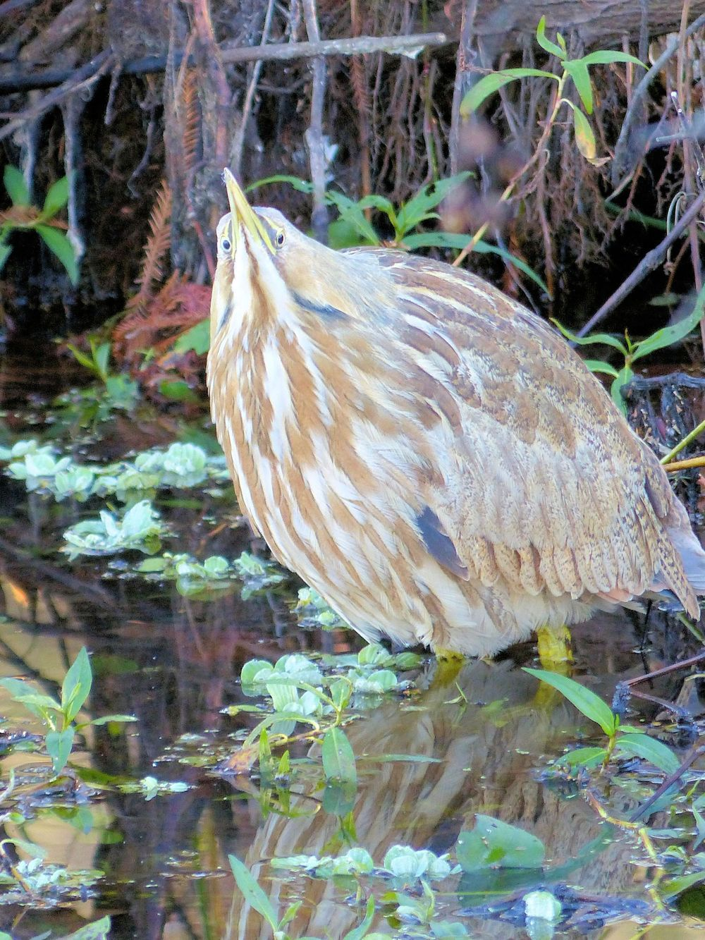 Poofed up American Bittern - Brazos Bend