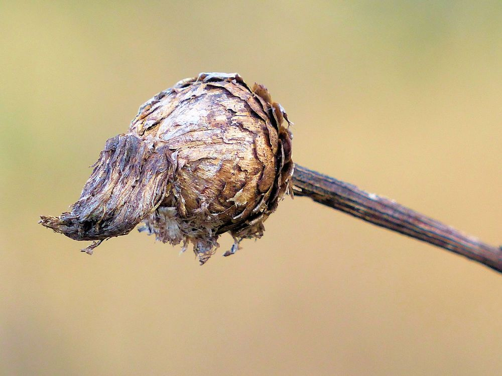 Seed Pod - Brazos Bend