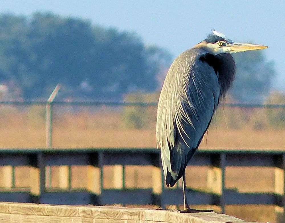 Great Blue Heron looking really cold