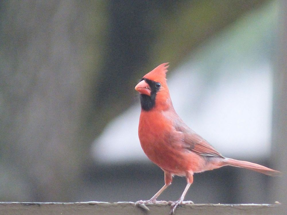 Male Cardinal on fence