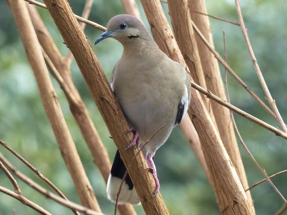 White-winged doves are wintering much further North than in previous years
