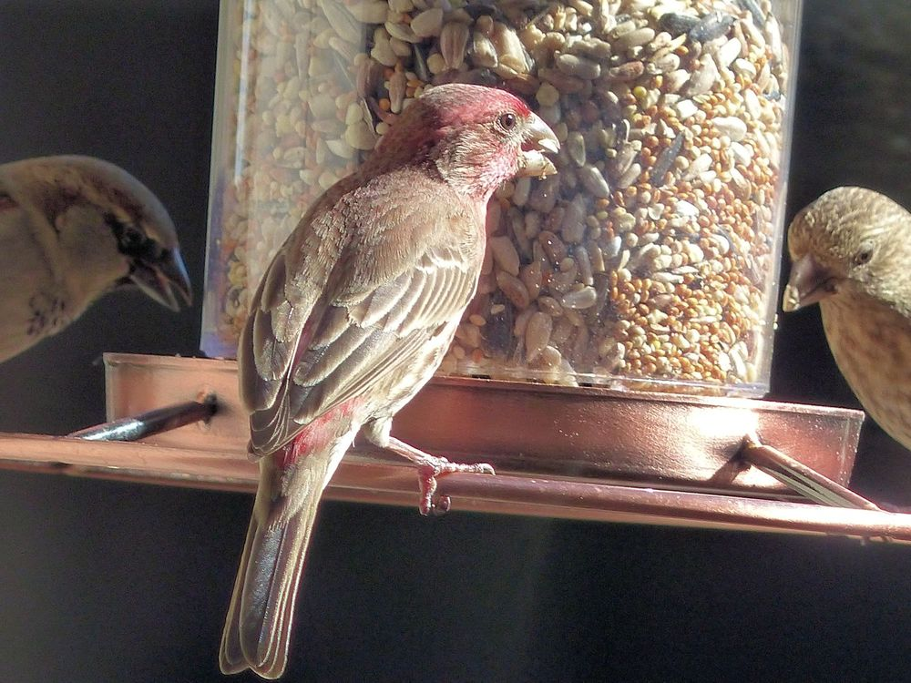 House Finch hanging out with the Sparrows