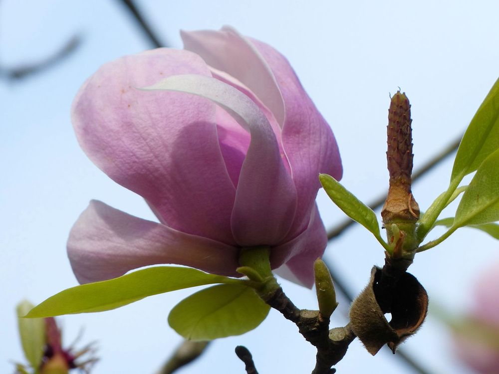 Tulip Magnolia bloom