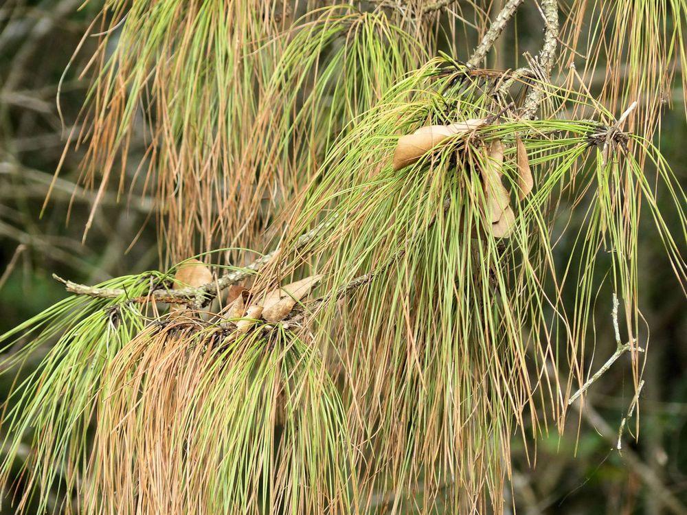 Pine needles - Mercer Arboretum