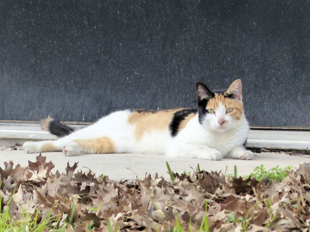 Rosenberg Calico Cat