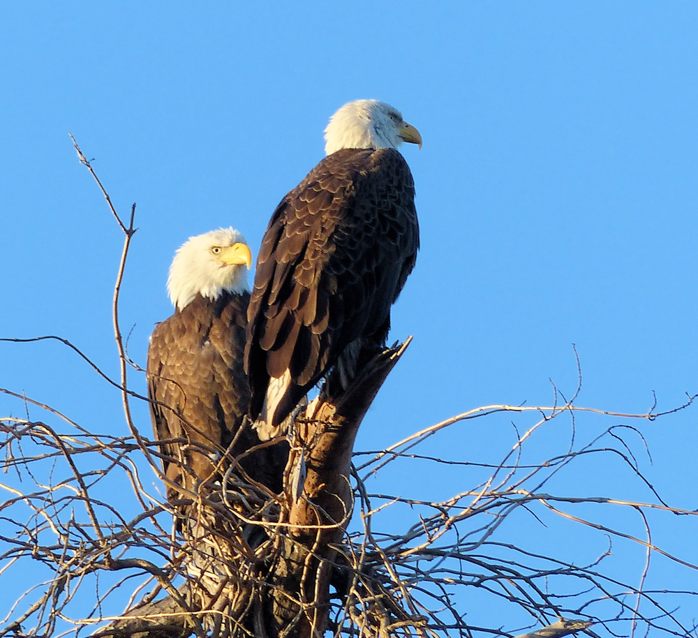Majestic Bald Eagle pair