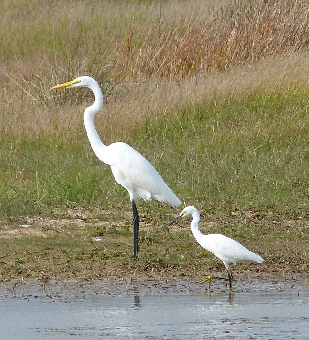 Big = Great Egret    LIttle = Snowy Egret