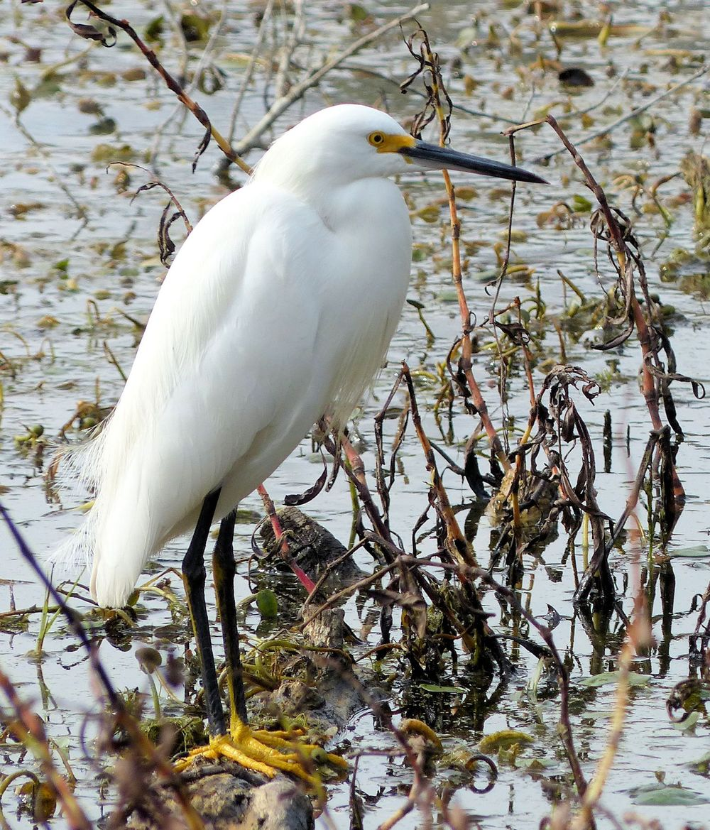 Snowy Egret with bright yellow feet.