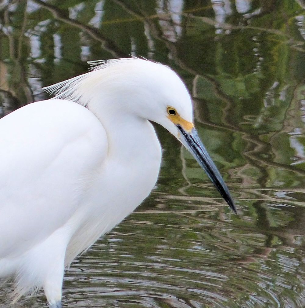 Snowy Egret intent on his prey