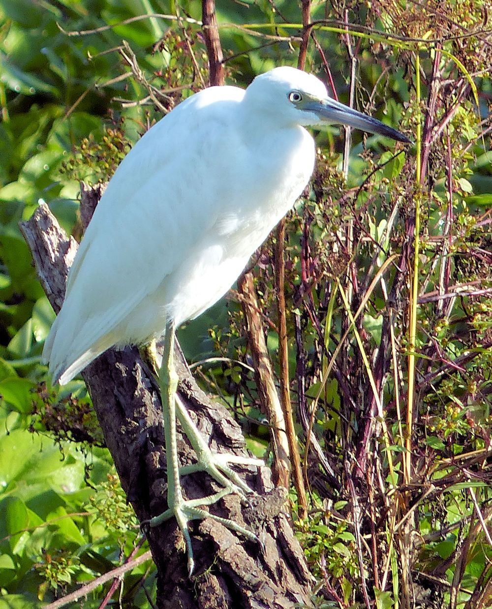 Juvenile Little Blue Heron