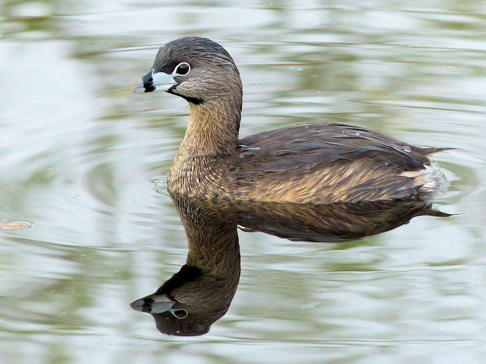 Another Pied-billed Grebe photo. He is just so cute!
