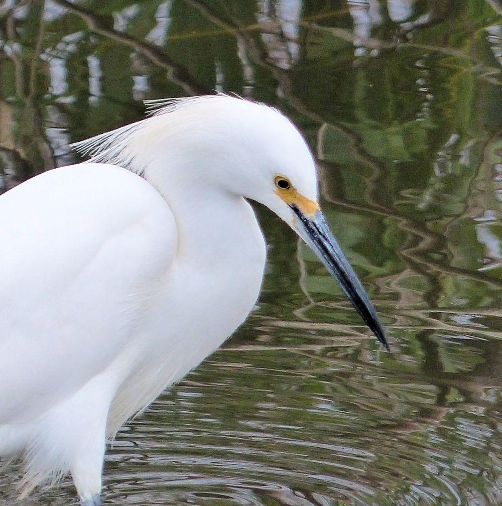 Snowy Egret at Cullinan Park