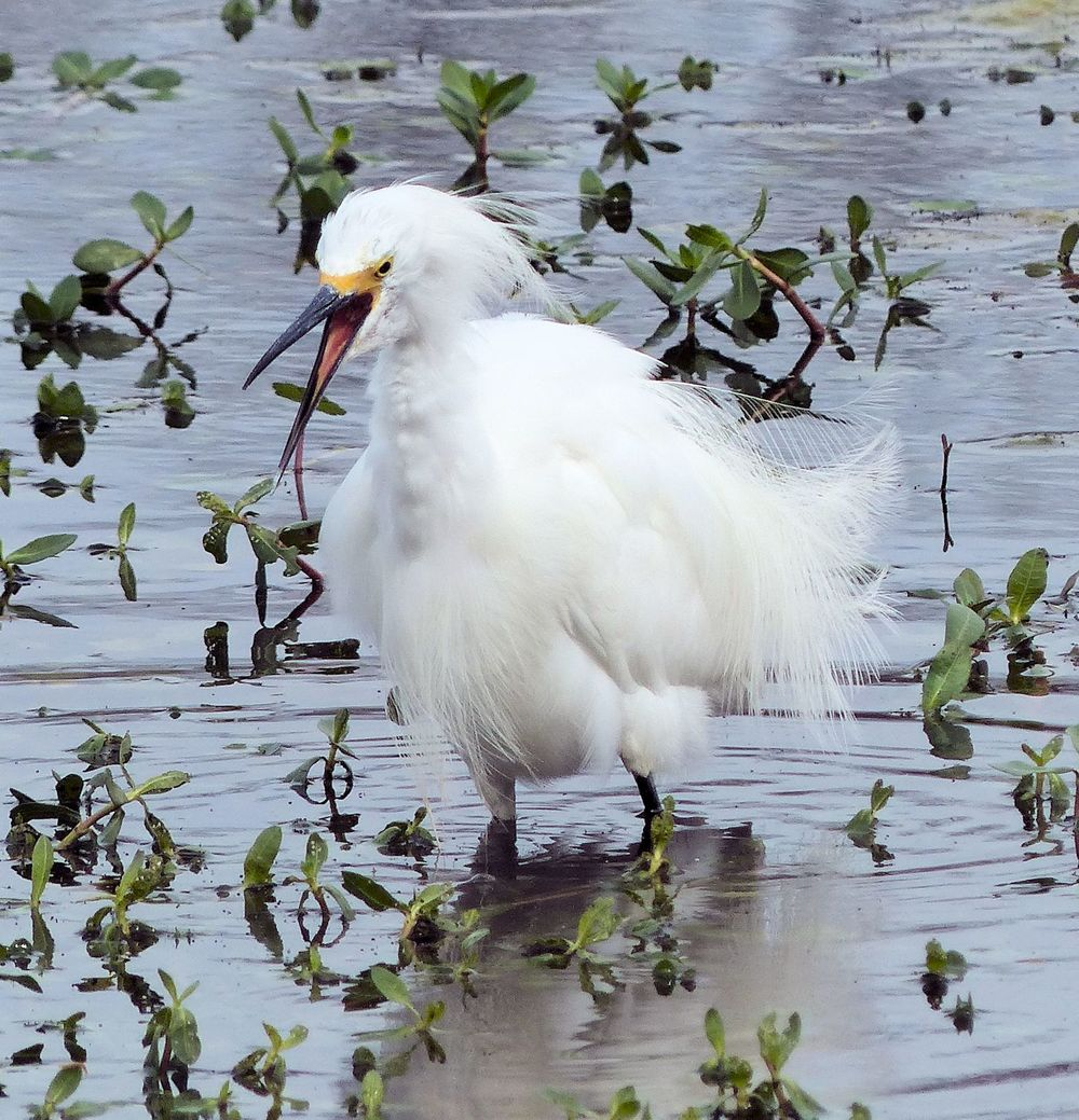 Snowy Egret having a temper tantrum at Brazos Bend