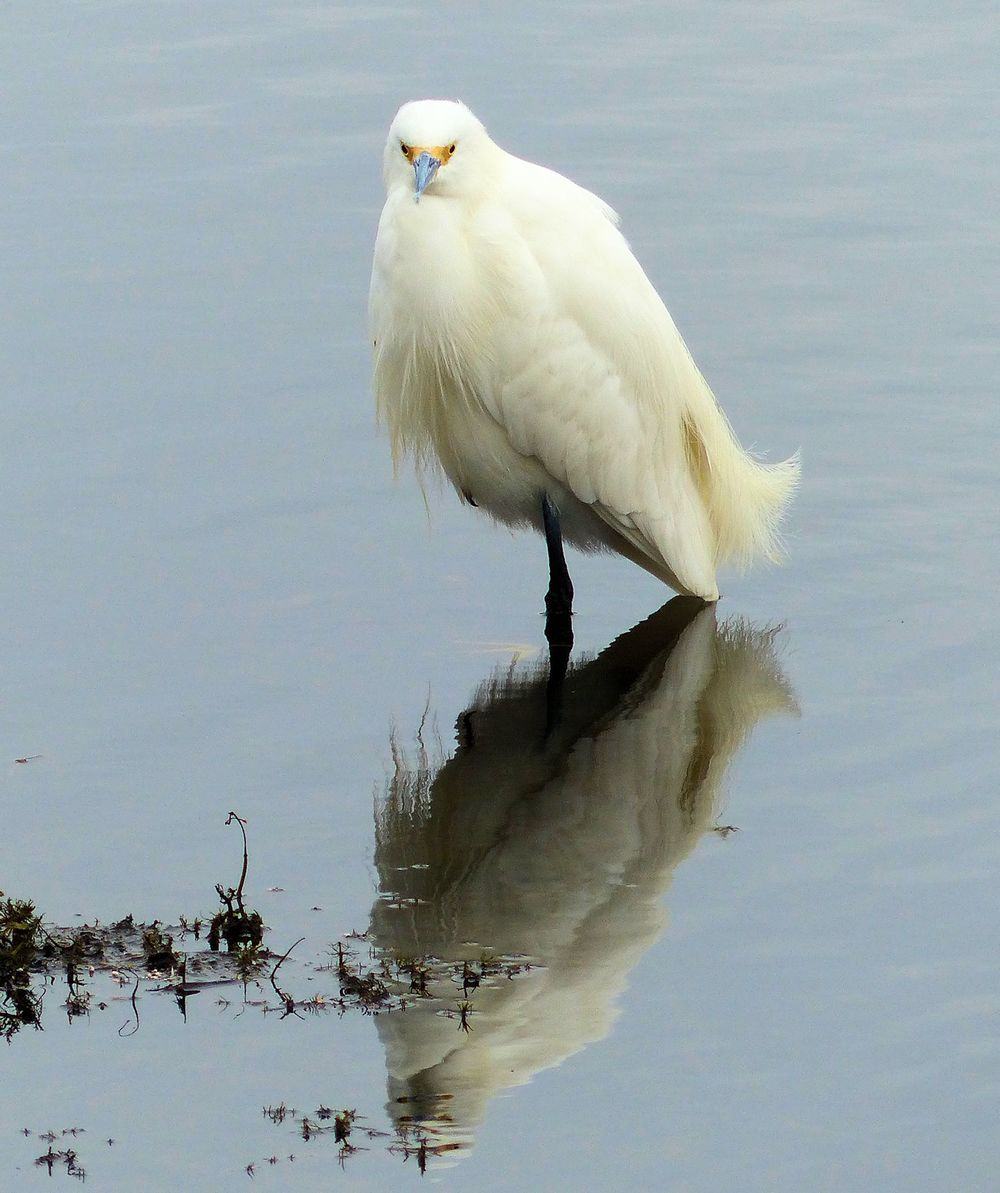 Snowy Egret with his reflection - Cullinan Park