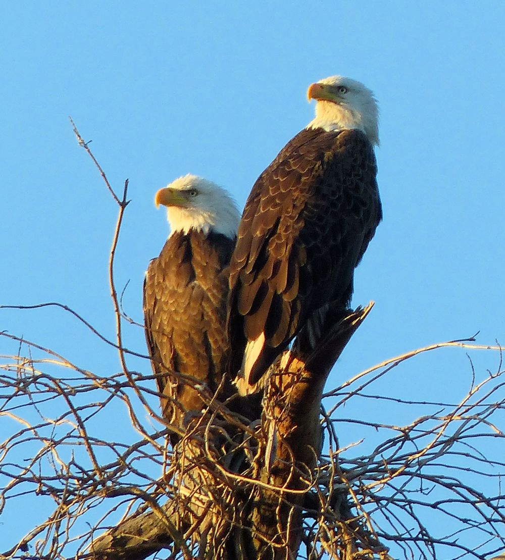 Bald Eagle breeding pair at undisclosed location