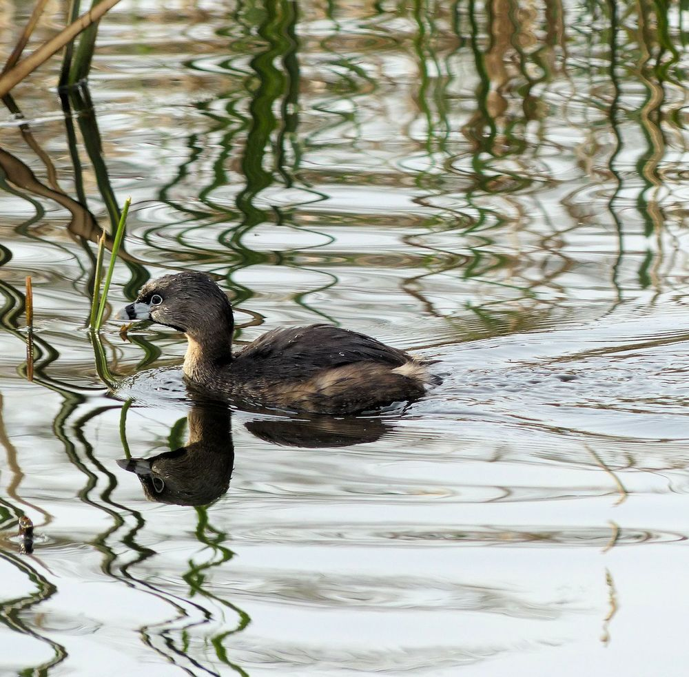 Pied-billed Grebe amused by his own reflection - Brazos Bend