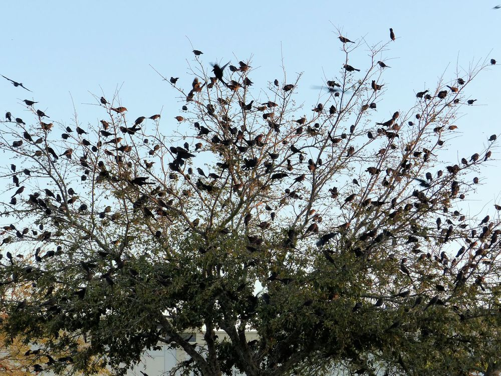 Tree full of blackbirds