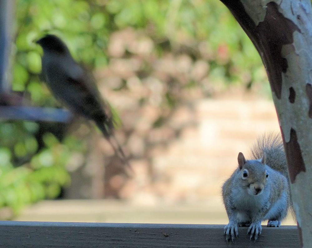 Squirrel eying the bird feeder