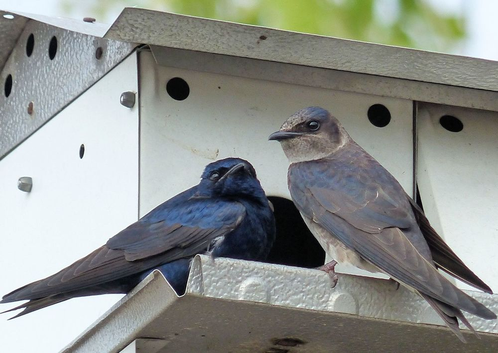 Purple Martin pair in their house