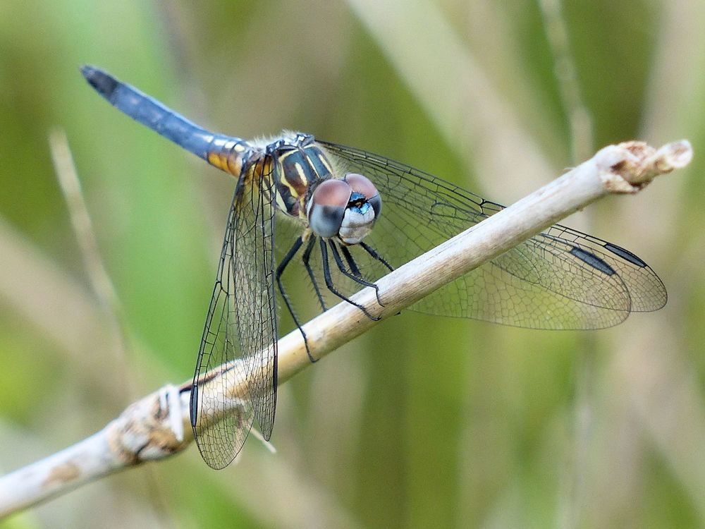 Unknown type of  Blue Dragonfly