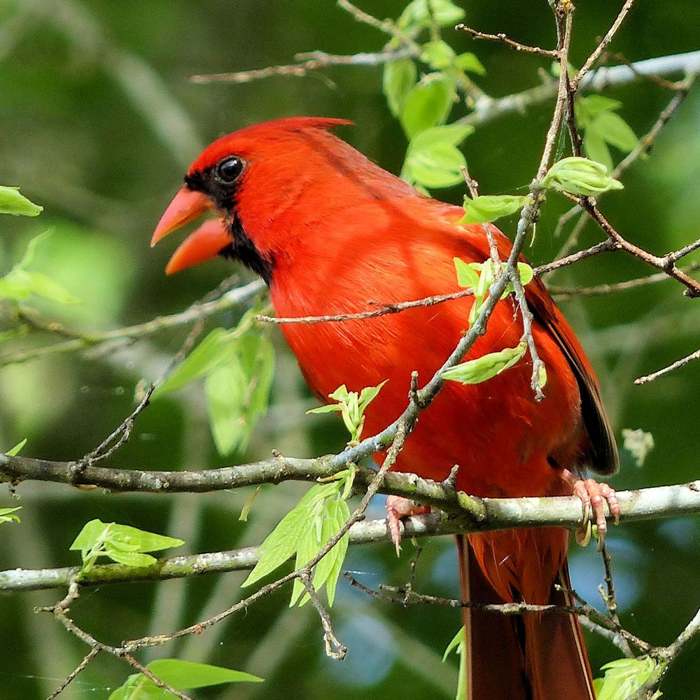 Northern Cardinal all bright and sassy