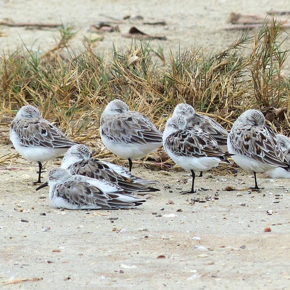 Huddle of Sanderlings developing breeding plumage