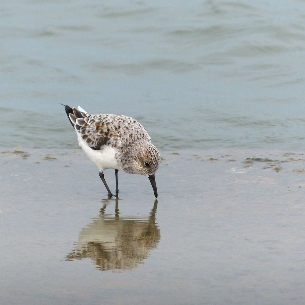 Sanderling developing some breeding colors