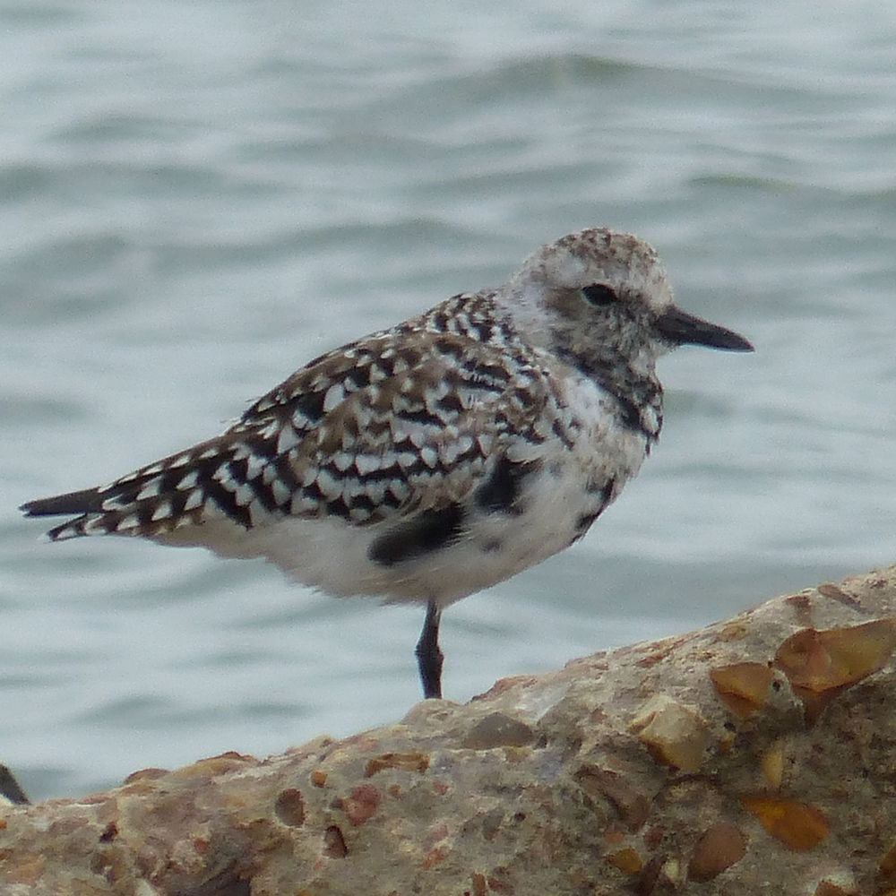 Black-bellied Plover getting his breeding plumage
