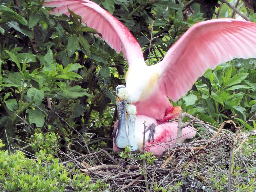 Spoonbill love   .. look quick cause the piggy back ride doesn't last long!