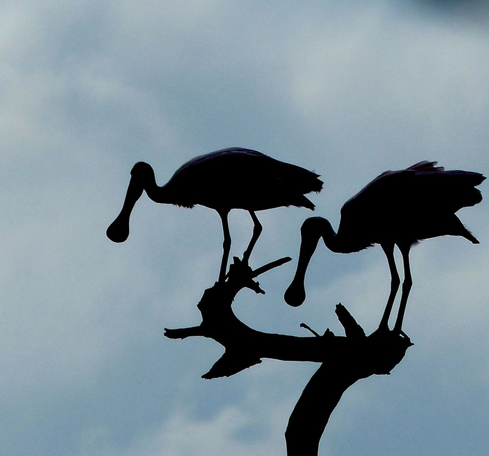 Spoonbill silhouettes