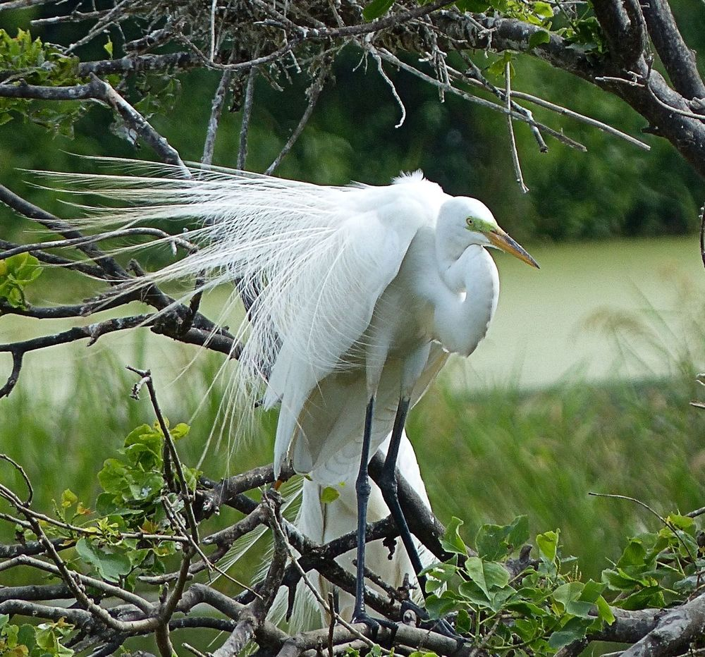 Great Egret displaying and showing off
