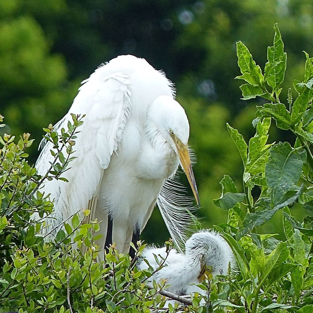 Great Egret with chick - High Island