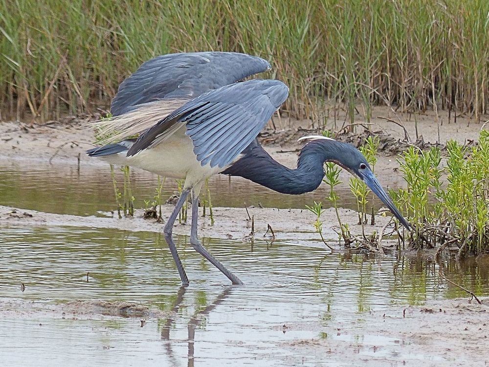 Tri Colored Heron ... shadowing