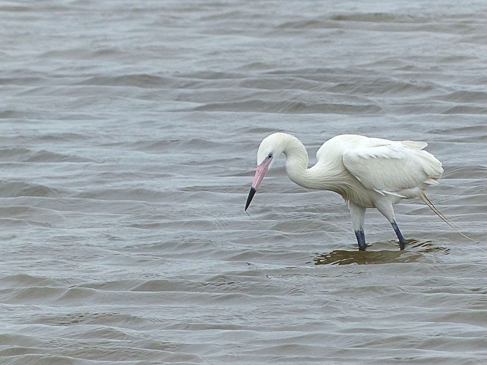 White Morph of the Reddish Egret