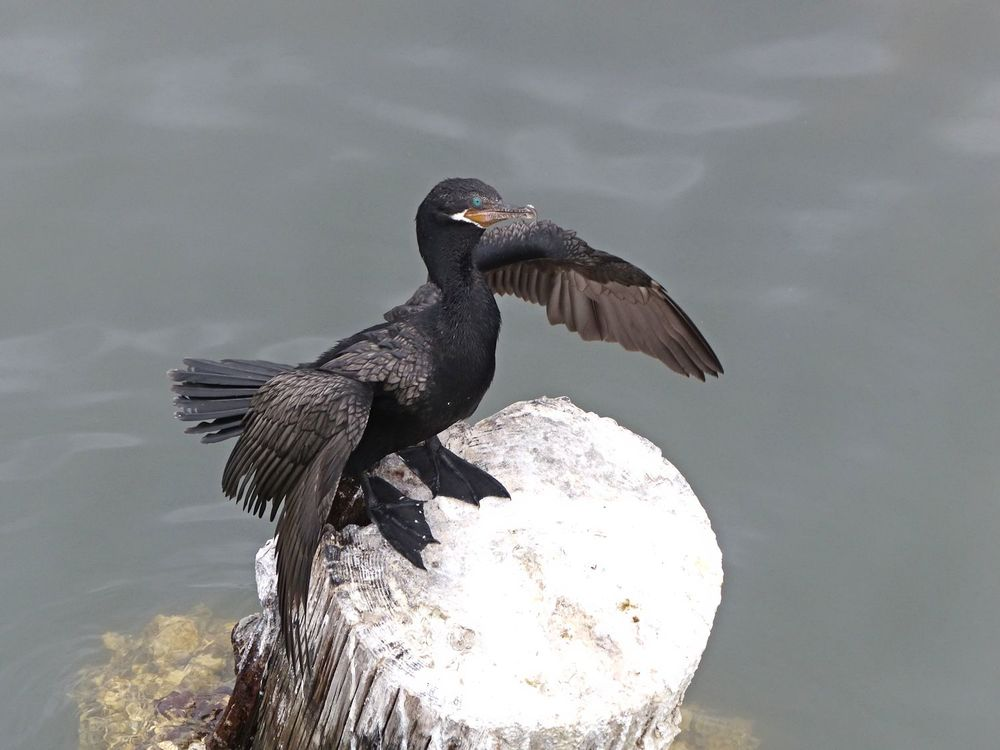 Neotropical Cormorant