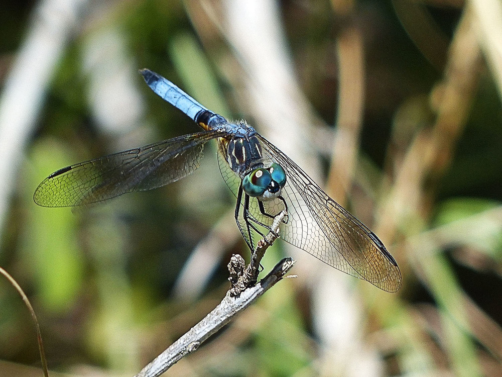 Might be a Blue Skimmer or a Sky Blue Dragonfly