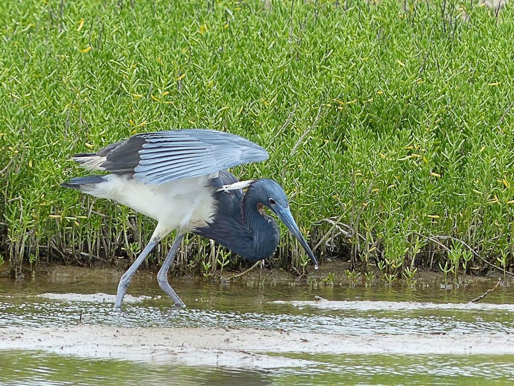 Tri Colored Heron - Quintana