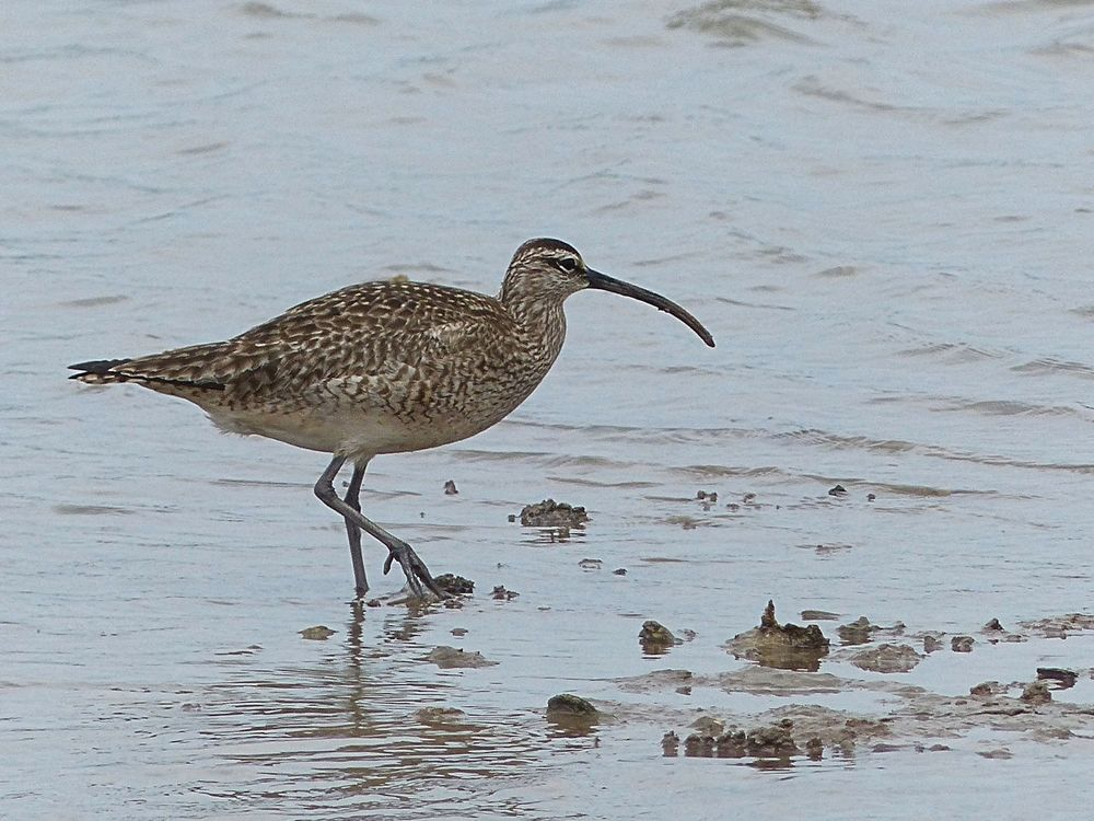 Whimbrel - Surfside