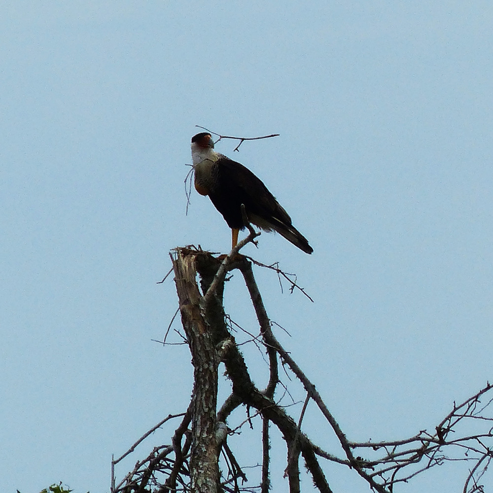 Nest building Caracara