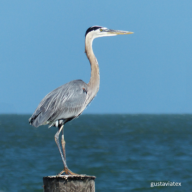 Great Blue Heron - Rockport, Texas
