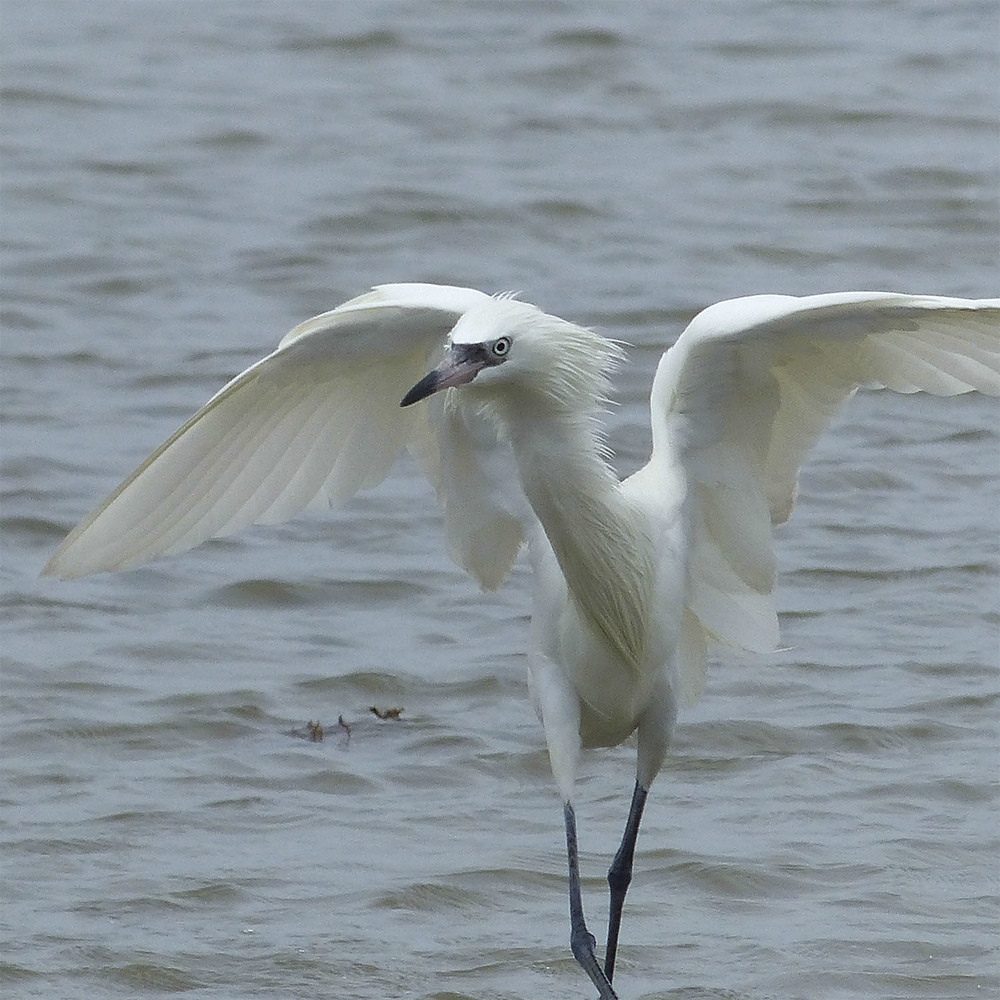 White morph Reddish Egret 'shadowing'