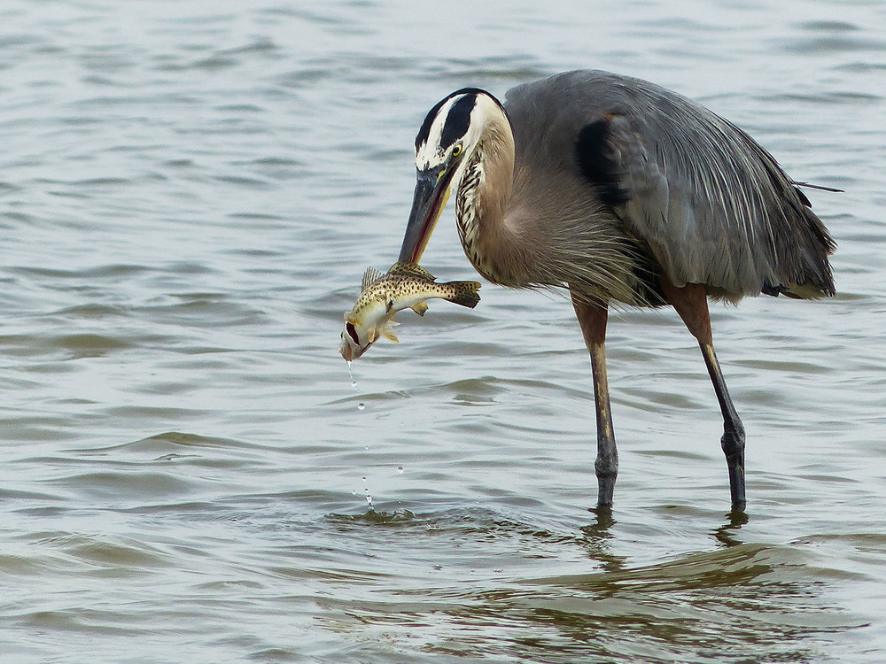 Great Blue Heron with a speckled trout