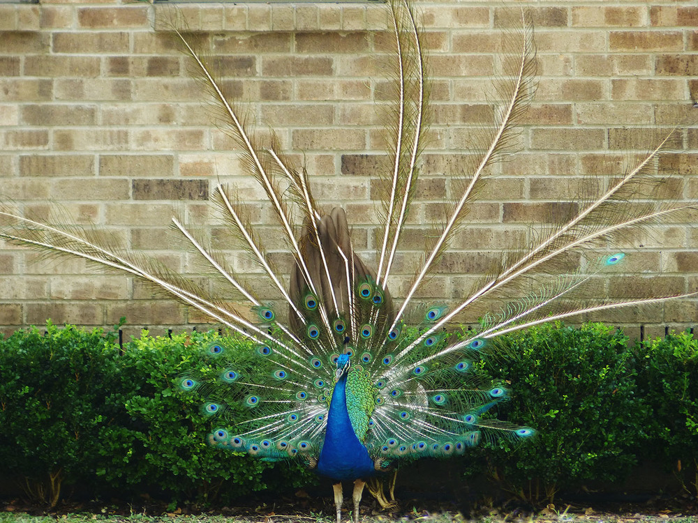 Molting peacock?