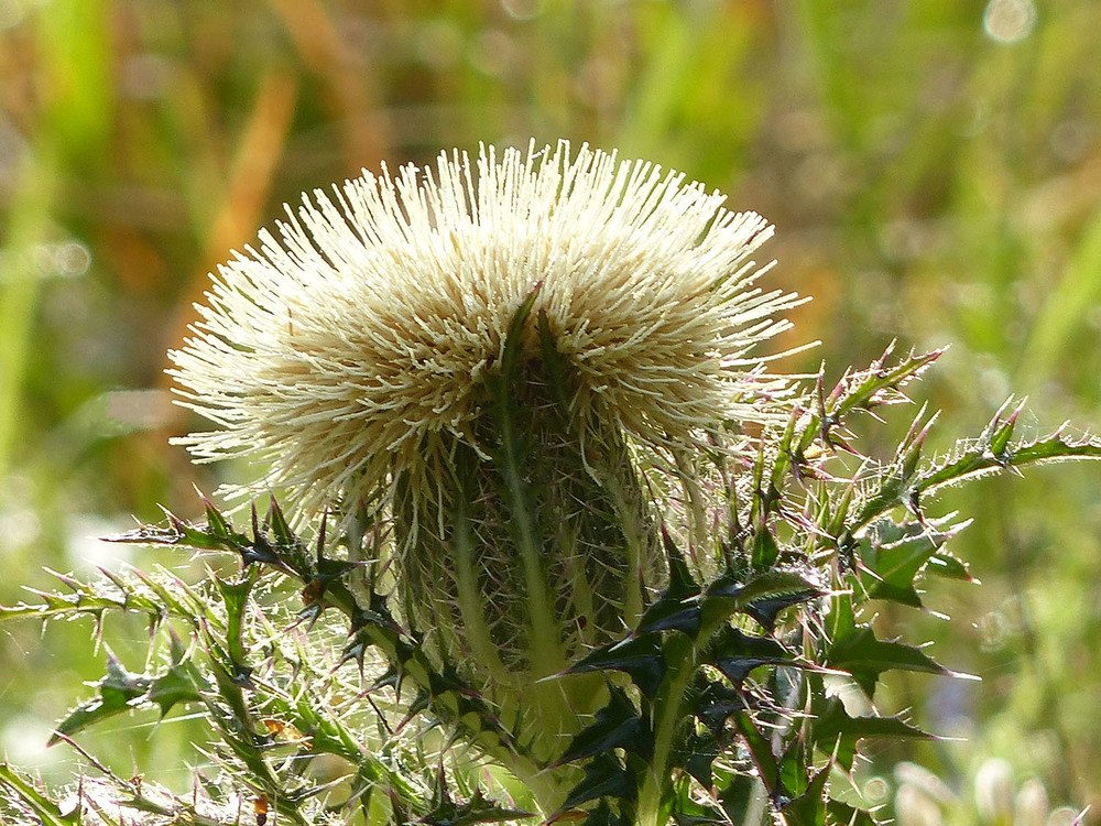 Thistle at Brazos Bend