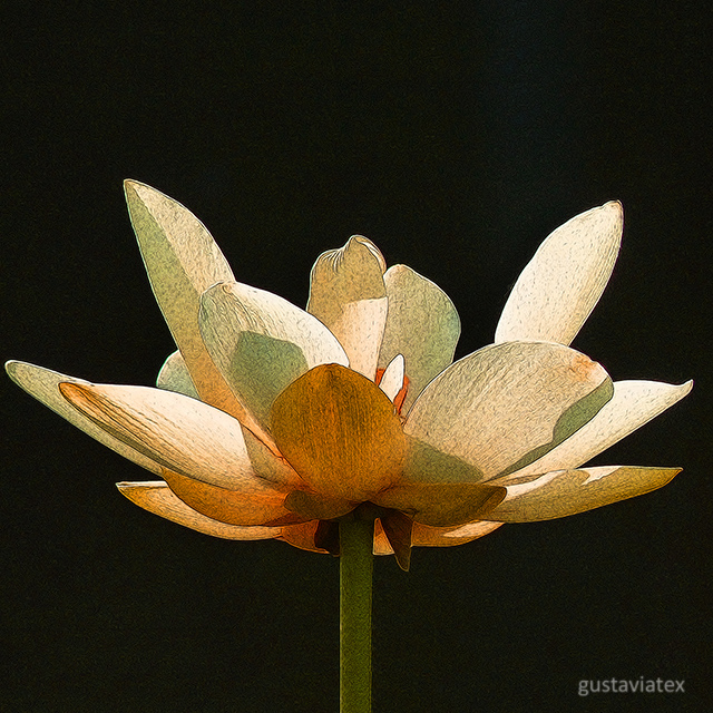 Lotus Blossom from Brazos Bend State Park