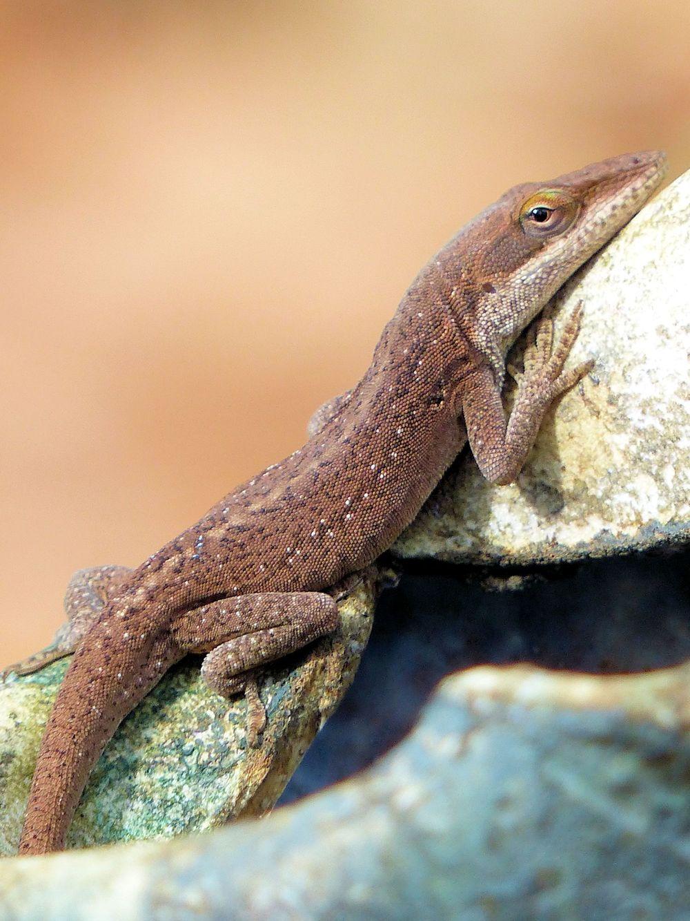 Lizard - Mercer Arboretum