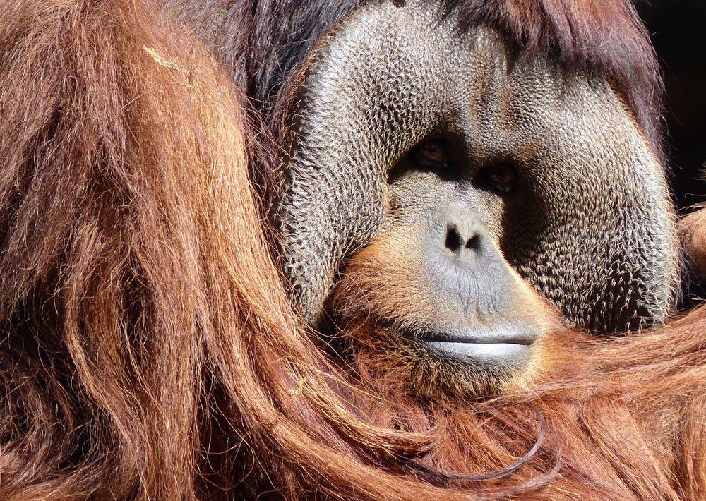 Orangutang - Houston Zoo