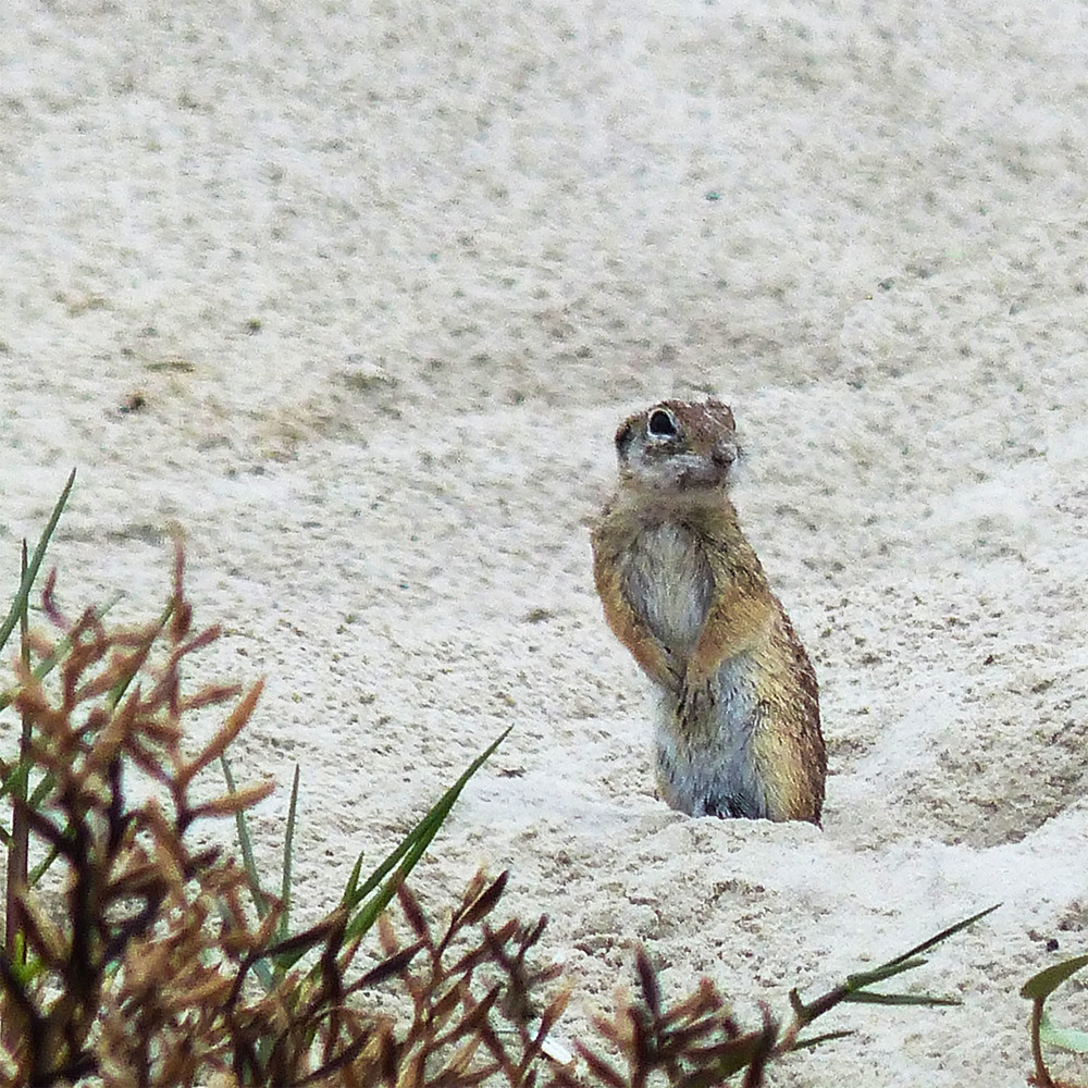 Sand Squirrel - Mustang Island, Texas